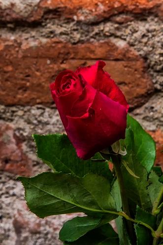 Roses_0152