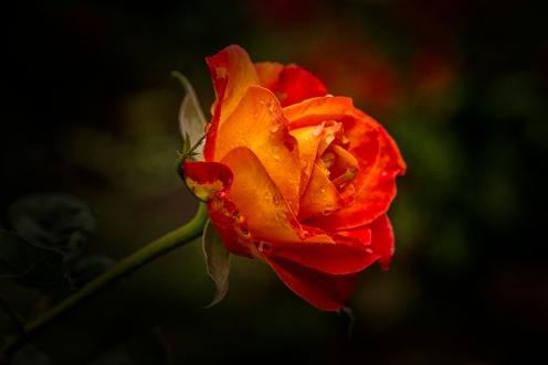 Rose_0496