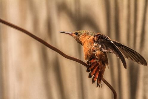 Humingbird_1682
