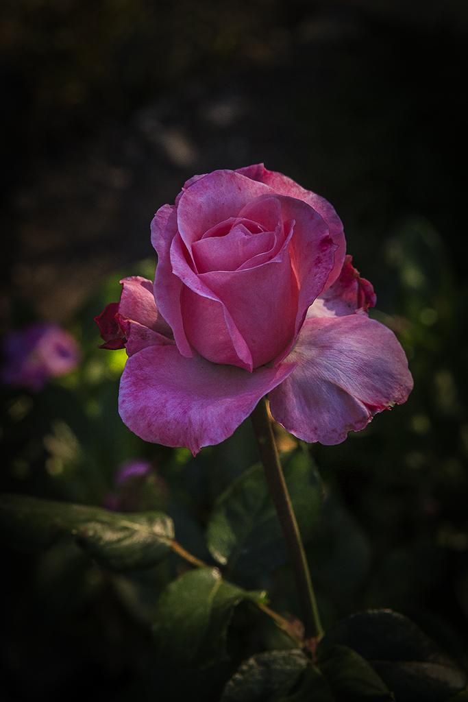 Roses10_1404