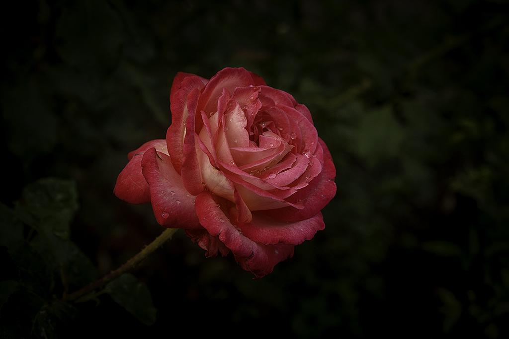 Roses2_4370